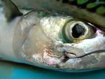 mackerel Royaltyfria Foton