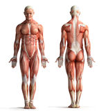 Male anatomy view Stock Photography