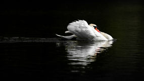 Male Mute Swan in Threat Posture on Dark Water Royalty Free Stock Photography