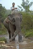 Man on top of an elephant in the Mekong river to wash the mammal Royalty Free Stock Image