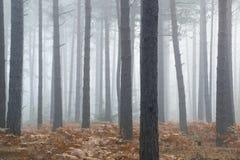 Manhã nevoenta da paisagem de Autumn Fall da floresta do pinho Fotografia de Stock