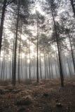 Manhã nevoenta da paisagem de Autumn Fall da floresta do pinho Imagem de Stock