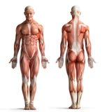 Mannelijke anatomiemening Stock Fotografie