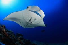 Manta ray Stock Photography
