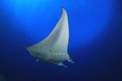 Manta ray Royalty Free Stock Images