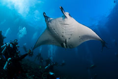 Manta ray cleaning Royalty Free Stock Images