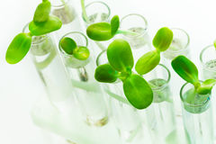 Many green plants in test tubes on white table Royalty Free Stock Images
