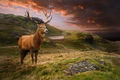 Maschio dei cervi rossi nel paesaggio drammatico della montagna Immagini Stock