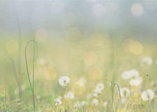 A meadow of dandelions. Royalty Free Stock Images