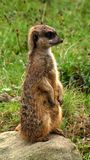 Meerkat Stock Image