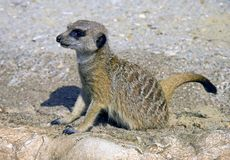 Meerkat  mongoose predator mammal dig hole Royalty Free Stock Photography