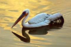 Migratory bird on the lake water. Stock Photo