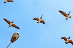 Migratory birds Royalty Free Stock Photos