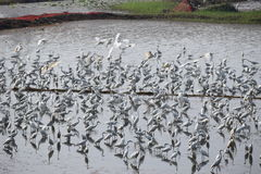 Migratory birds Stock Images