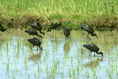 Migratory birds red-naped ibis-feeding at paddy field Stock Image