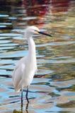 Migratory Crane Bird Royalty Free Stock Image