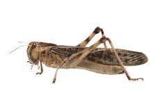 Migratory locust - (Locusta migratoria) Royalty Free Stock Image