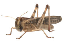 Migratory locust - (Locusta migratoria) Stock Images