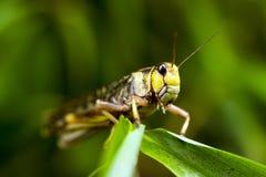 Migratory Locust (Locusta migratoria) Stock Photo