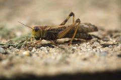 Migratory locust (Locusta migratoria). Stock Photo