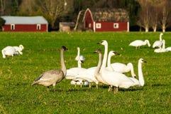 Migratory snow geese feeding on a farm Royalty Free Stock Image