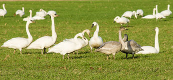 Migratory snow geese feeding on a farm Royalty Free Stock Images