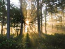 Mist van vroege ochtend en zonstralen in hout Stock Fotografie