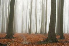 Misty autumn beech forest Stock Photos