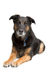 Mixed breed old dog Royalty Free Stock Images