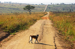 Monkey crossing long winding dirt road Stock Photo