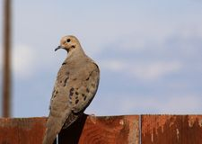 Morning Dove on a fence Royalty Free Stock Photo