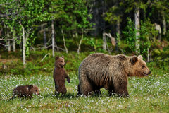 Mother bear and cubs Royalty Free Stock Image