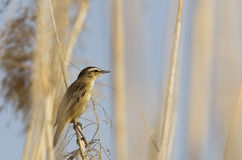 Moustached Warbler on Reed Stock Photos