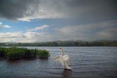 Mute Swan on Lake in the Rain Stock Photo