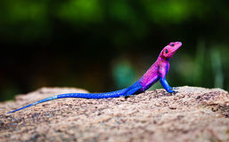 The Mwanza Flat-headed Agama. Serengeti, Tanzania Royalty Free Stock Photos