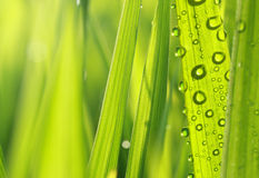 Nature fresh grass with dews Stock Image