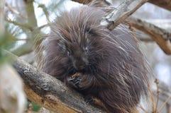 North American Porcupine Stock Photos