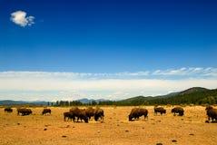 Northwest buffaloes Stock Photo