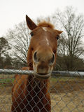 nyfiken häst Royaltyfria Bilder