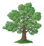 Oak tree and green grass Stock Image