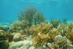 Octocorals för undervattens- koraller mestadels karibiskt hav Arkivfoto