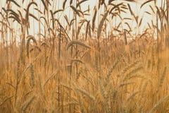 Ohren des reifen Weizens Stockbild