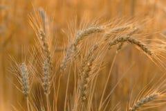 Ohren des reifen Weizens Stockfotos