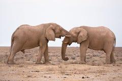 Olifanten in liefde Stock Afbeelding