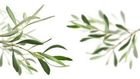 Olive tree branches Royalty Free Stock Photography