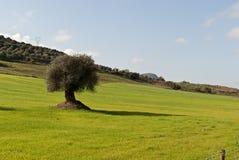 Olive tree in Sardinia Stock Photo