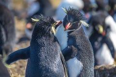 Oneanother lissant de couples de pingouin de Rockhopper Photo stock