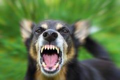 Ontschorsende hond Stock Afbeeldingen