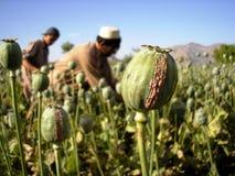 Oogstende Opium, Oost-Afghanistan Stock Foto