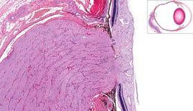 Optic nerve and retina Stock Images